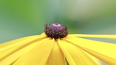 Black Eyed Susan (Johnnie Shene Photography(Thanks, 2Million+ Views)) Tags: blackeyedsusan rudbeckia yellow flora floral flower stamen petal petals corolla depthoffield halflength sideview surfacelevel parallel bright luminosity interesting awe wonder macro closeup magnified adjustment photography horizontal outdoor colourimage fragility freshness nopeople foregroundfocus backgroundblurry korea summer day lighteffect green plant flowering tranquility chrysanthemum canon eos600d rebelt3i kissx5 sigma 1770mm f284 dc lens 루드베키아 꽃 노란 국화