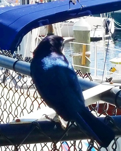 This fella saw me taking pix and was sure I had a bite to eat for him. His coloring was so BEAUTIFUL shining in the sunlight.  #stpeteyachtclub #boating #boatlife