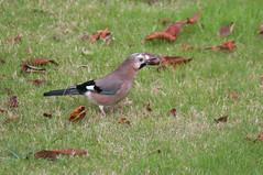 O recolector (xanesmelle) Tags: garrulus glandarius pega rebulda esmelle galicia aves birds