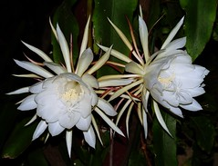 Orchid cactus flower - Queen of the night (zad53) Tags: flower cactus orchidcactus saveearth