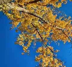 Golden (CCphotoworks) Tags: ccphotoworks nikon colourful gold blue niceweather weather blueskybackground golden outdoors nature autumn