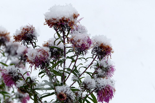 Asters in an early snowfall (Kaarela, Helsinki, 20161106)