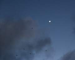 the bats (Ian Thomas Ackerman) Tags: bat bats moon cloud nightfall twilight