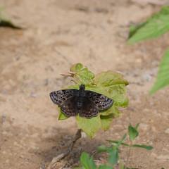 Columbine Duskywing - ( Erynnis lucilius ) (agawa2yukon) Tags: hesperiidae pyrginae butterflies butterfly algoma lepidoptera