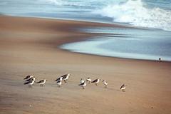 Just Some Birds On The Beach (matthewkaz) Tags: seagulls gulls bird birds gull obx outerbanks theouterbanks killdevilhills beach sand ocean coast water atlanticocean wave waves northcarolina 2012