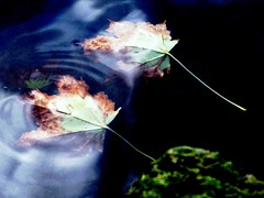 destiny (Lovely Pom) Tags: leaf leaves autumn fall floating faith destiny together love inseparable pair