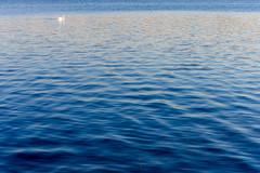 lone swan (ToDoe) Tags: loneswan swan lone alone lonesome einsamerschwan einsam schwan water blu blue blau weis