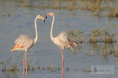 Flamenco comn (Phoenicopterus roseus) (jsnchezyage) Tags: flamencocomn phoenicopterusroseus ave fauna naturaleza birding bird ngc