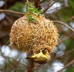 Cape Weaver (Pioceus capensis) (mosesharold) Tags: 20161120img6355 weaverbirds flickrbirds southafrica westerncape saltpan onrusriviervermontsaltpan