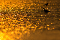 Pure GOLD (Irtiza Bukhari) Tags: gold liquit pure bokeh bird one alone sunset sunrisethismorning beauty nature irtiza irtizabukhari images image animals action light love little lens loving life lake natgeo jahanian ngc naturephotography naturesphotography natureiffab naturelover natural canon canon70d 400mm 400mm56 lovely eos explore golden uchhali