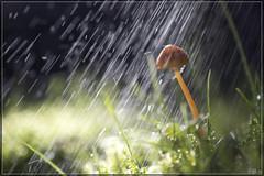 In de regen 05 (hejos54) Tags: herfst regen bos woud paddestoelen mushrooms canoneos5dmarkiii ef100mmf28lmacroisusm