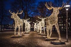 Illuminated Moose Path (yannha) Tags: sigma35mm14art city light art installation sculpture night urban bokeh moose path festive christmas season sweden stockholm