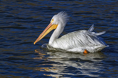 Sail On! American White Pelican MG0047 (918monty) Tags: wildlife pelicans americanwhitepelican pouchedbills 9feetwingspread soaringbirds