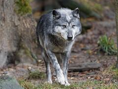Timberwolf walking (Tambako the Jaguar) Tags: walking portrait forest wolf canine canid gray black timberwolf canadian parcanimalier saintecroix park parc rhodes zoo france nikon d5