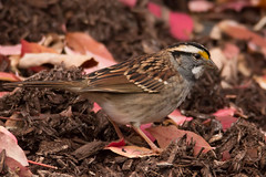 White-throated Sparrow (mattbpics) Tags: nature whitethroatedsparrow sparrow canon 70d tamron 150600 150600mm