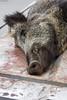 Pa chorizos (MaryPazSL) Tags: jabalí sangre animal matanza colmillo