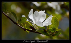 Frhlingserinnerung (Harald52) Tags: magnolie blte pflanze natur frhling weis grn