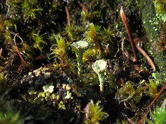 pixie cup and moss (chaerea) Tags: algae bc canada cladonia forest fungi lichen mycology nature woodland