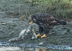 ND5_3821 Immature and Carcass (Wayne Duke 76) Tags: immaturebaldeagle salmoncarcass raptor