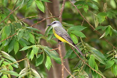 Tyrannus (thingsfrompanama) Tags: panama panamacity causeway amador birds aves animales animals tyrannus