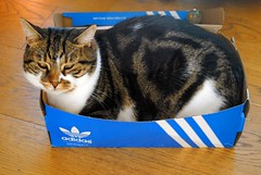 Brian and the box (zawtowers) Tags: brian cat cute kitty feline shoe box trainers adidas snuggled up cosy relaxed happy content pet