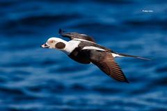 Long-tailed duck (drake) (Mike Veltri) Tags: longtailedduck mikeveltri avian birds flightshots birdsinflight naturephotography ontatrio canada