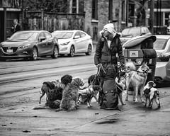 alPha.jpg (christophersears94) Tags: toronto urban olympusem102 olympus75f18 dog ontario canine ronnyvillage canada street