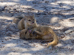 I'm the winner! (jaffles) Tags: southafrica sdafrika kalahari kgalagadi transfrontier park ktp olympus safari wildlife natur nature yellowmongoose cub playing