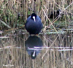 Aren't I pretty? (alpenfrankie) Tags: canon eos 1100d wildlife animals bird nature coot reflection ywt water