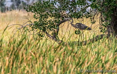 August 11, 2015 - A Great Blue Heron among a lot of green. (Michelle Jones)