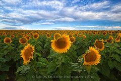 Sunflowers (RondaKimbrow) Tags: morning sky clouds photography colorado sunflowers sunflowerfields coloradolandscapes coloradoimages rondakimbrowphotography