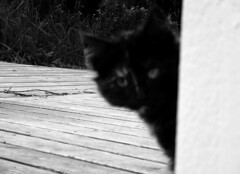 Furry photobomber (SofiDofi) Tags: blackandwhite cute norway cat outdoors norge blurry furry cabin feline outoffocus september visitor lofoten nordnorge hereiam lofotenislands nordland rorbu flakstad nusfjord photobombing fall2015 ninemonthsinthenorth chunkyfluff