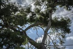 rbol con tirantes (seguicollar) Tags: plantas cielo rbol follaje vegetacin ramas tirantes nikond5200 virginiasegu