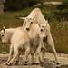 Filhotes brincalhões de cabra montesa