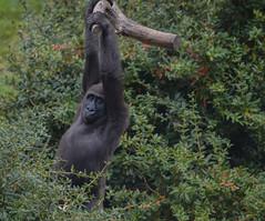 Laaglandgorilla Tayari (pclaesen) Tags: zoo monkey gorilla nederland primate apenheul apeldoorn dierentuin orangoetang primaat tayari laaglandgorilla