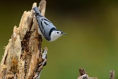 White-breasted Nuthatch-42222.jpg (Mully410 * Images) Tags: bird birds backyard watching birding stump birch rotten nuthatch birdwatching whitebreastednuthatch birder whitebreasted