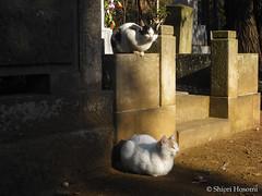 (Shiori Hosomi) Tags: cats japan january  mammalia felis carnivora 2011 felidae         23