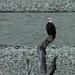 Uma águia-americana