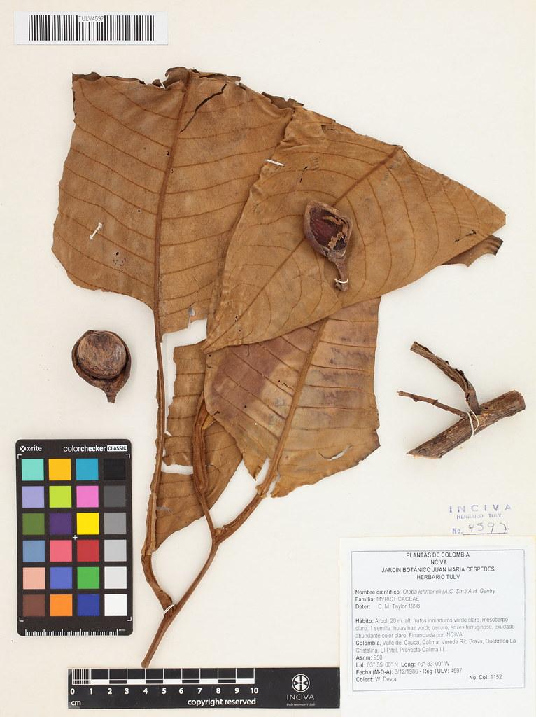 mda312  The World's Best Photos of taxonomy:genus=otoba and taxonomy:species ...