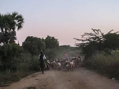 """Bagan: à scooter derrière un troupeau de chèvres lors notre retour du coucher de soleil <a style=""""margin-left:10px; font-size:0.8em;"""" href=""""http://www.flickr.com/photos/127723101@N04/23094180660/"""" target=""""_blank"""">@flickr</a>"""