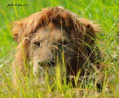 "JHG_9181-b ""Bad Hair"" day Lion on the stalk. I crawled to within 5 feet in the deep grass, risking my life for this shot ! (kidding). Masai Mara, Kenya. (GavinKenya) Tags: africa wild nature animal june john mammal photography gavin photographer kenya african wildlife july grand safari dk naturephotography kenyasafari africansafari 2015 safaris africanwildlife africasafari johngavin wildlifephotography kenyaafrica kenyawildlife dkgrandsafaris africa2015 safari2015 johnhgavin"
