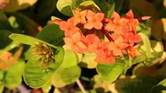 Orange Plumbago (abrideu) Tags: flowers orange macro plumbago abrideu canoneos100d