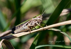 A Grasshopper. (nondesigner59) Tags: nature closeup wildlife archives grasshopper eos50d nondesigner nd59 copyrightmmee