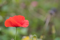 Poppy (Infomastern) Tags: park autumn flower garden blomma höst geolocation alnarp geocity camera:make=canon exif:make=canon exif:focallength=100mm geocountry geostate exif:lens=ef100mmf28lmacroisusm exif:aperture=ƒ35 exif:isospeed=100 camera:model=canoneos760d exif:model=canoneos760d