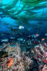 Kelp off Southern Californias Channel Islands (credit: D. Kushner) (StanfordWoods) Tags: jaime uw