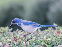 Hunter Blue. (Omygodtom) Tags: wild wildlife animal animalplanet abstract bokeh bird scrubjay outdoors park portrait blue green nature nikon d7100 nikon70300mmvrlens wow digital nikkor
