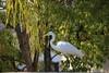 1DS30619 View Large. Back Yard Visitor. (E.W. Smit Wildlife) Tags: 1dsmarkiii canon1dsmarkiii canoneos1dsmarkiii canonef70300mmf456lisusm ef70300mmf456lisusm canonef70300mmf456lis egret greategret menifee menifeecalifornia socal southerncalifornia unitedstatesofamerica usa backyard wildlife wildanimals outdoor outdoors bird birds animal avian animals inlandempire riversidecounty canon nature