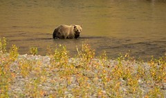 Yellowstone National Park - Fishing Grizzly Bear (nebulous 1) Tags: yellowstonenationalpark yellowstonenp grizzlybear fishing fauna river stream water nature nikon nebulous1 glene