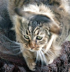 Whiskers in motion (marionmanuel) Tags: tigertabbylonghair tigertabby whiskers