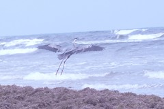 Great Blue Heron (BirdWatcher6723) Tags: 2012 beaches birds greatblueherons gulfs herons nature padreisland texas unitedstates water wildlife ardeaherodias